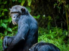 Apes show dramatically different early immune responses compared to monkeys