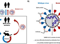 SARS CoV 2 variants from mink evade inhibition by antibodies