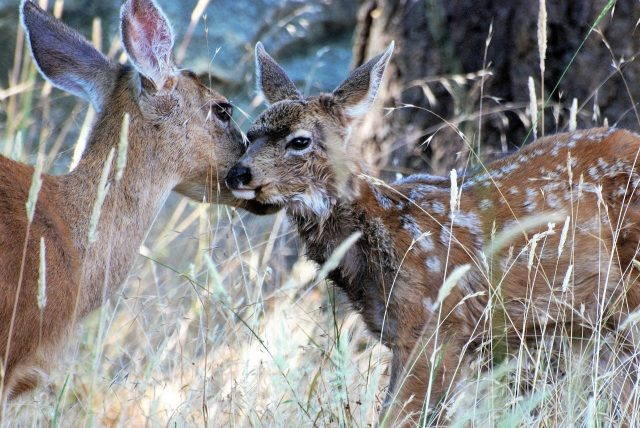 Study shows multiple factors shape timing of birth in mule deer