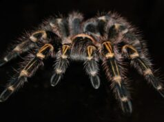 Tarantulas ubiquity traced back to the cretaceous