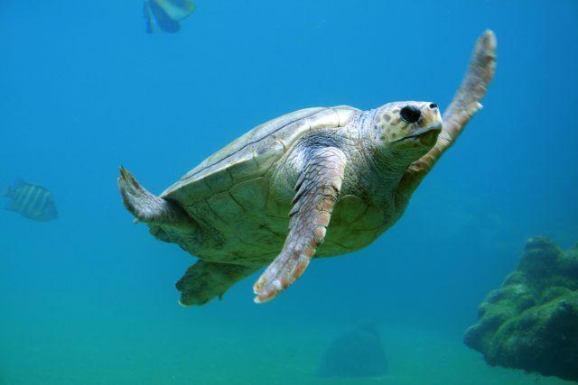 sea turtle by Tanguy Sauvin via unsplash