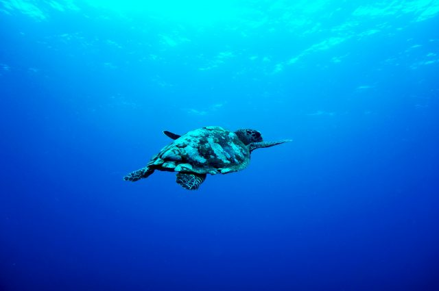 sea turtle in ocean by Andres Abogabir via unsplash