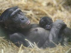 New bonobo genome fine tunes great ape evolution studies