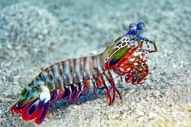 Optimized multi scale structure and chemical gradients in exoskeletons of mantis shrimp hermit crabs 1