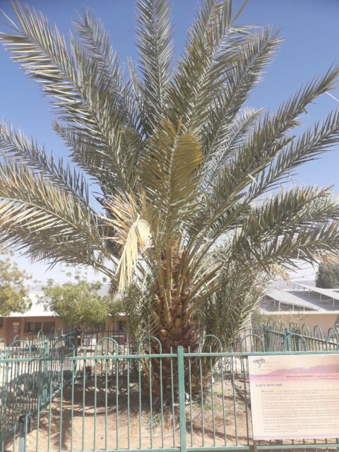 Sequenced genome of extinct date palms germinated from 2000 year old seeds