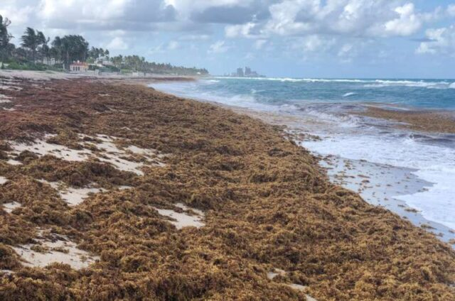 Surge in nitrogen has turned sargassum into the worlds largest harmful algal bloom