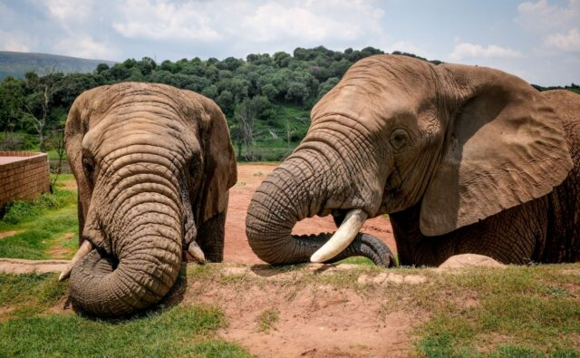 One of the largest ever land mammals evolved into extinct dwarf elephant