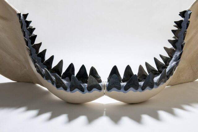 School lesson gone wrong leads to new bigger megalodon size estimate 1