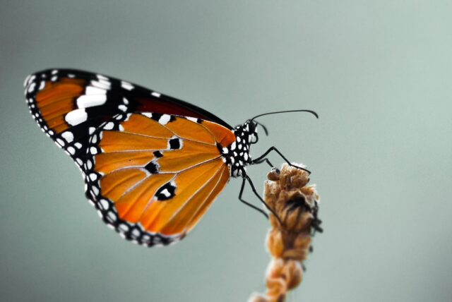 DNA from 93 year old butterfly confirms the first US case of human led insect extinction