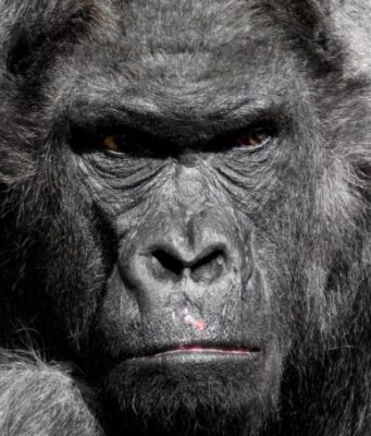 First lethal attacks by chimpanzees on gorillas observed