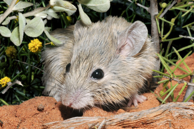 Shock find brings extinct mouse back from the dead 1