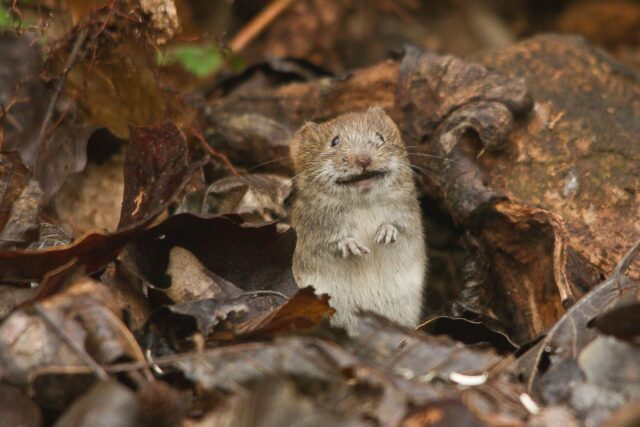 Shock find brings extinct mouse back from the dead